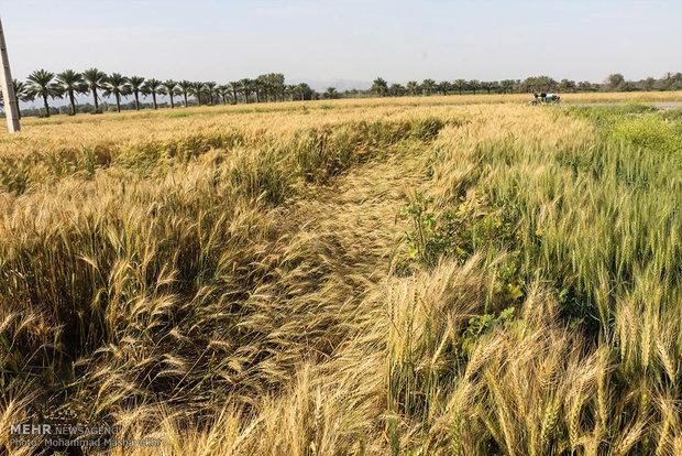گندم در بورس قیمت تضمینی