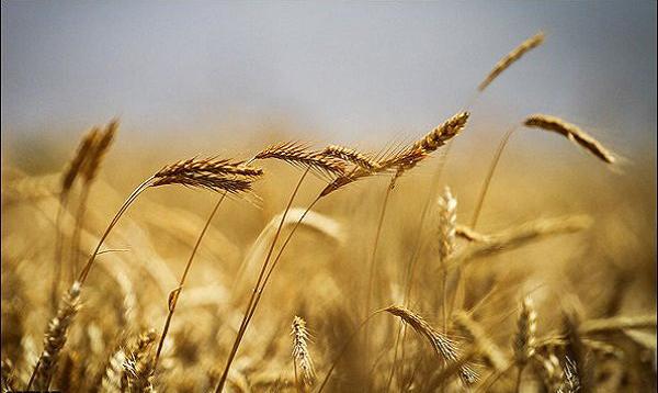 تهیه نان غنی شده مالت یا جوانه گندم