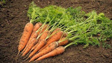 قیمت هویج روند نزولی گرفت
